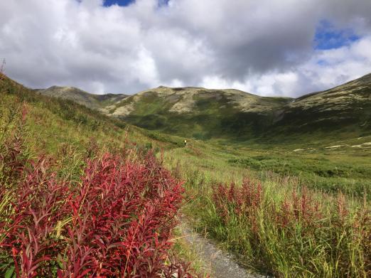 Fireweed near Resurrection Pass