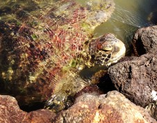 _Satoalepai_Turtles2